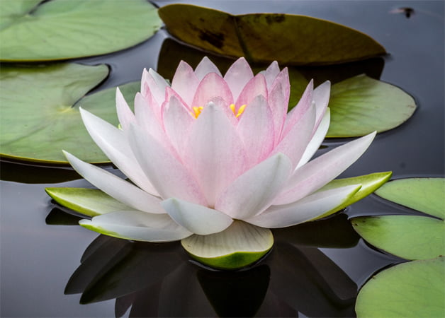 Lotus Flower in Seena's Reiki Site Footer