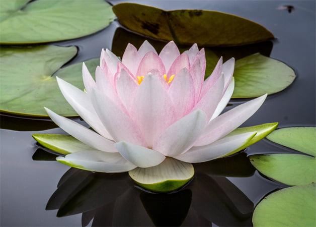 Lotus Flower in Seena's Reiki Site Footer
